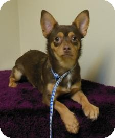Chihuahua Mix Puppy for adoption in Gary, Indiana - Diddie