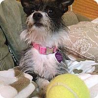 Adopt A Pet :: SCARLETT - Mission Viejo, CA
