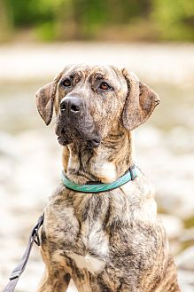 Mastiff/Great Dane Mix Dog for adoption in North Vancouver, British Columbia - DIESEL