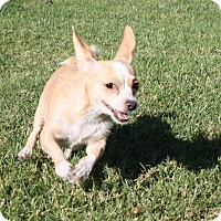 Adopt A Pet :: Haddie - Henderson, NV