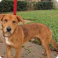 Adopt A Pet :: Beck - Bedford, TX