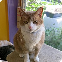 Domestic Shorthair Cat for adoption in Northbrook, Illinois - Atlass
