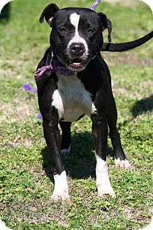 American Pit Bull Terrier/Pit Bull Terrier Mix Dog for adoption in Choudrant, Louisiana - Gypsy