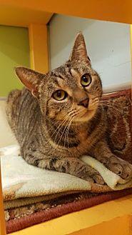 Domestic Shorthair Cat for adoption in Westbury, New York - Lila