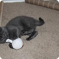 Adopt A Pet :: Annina - Austin, TX