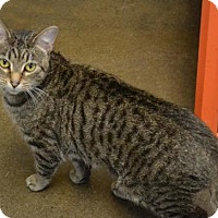 Domestic Shorthair Cat for adoption in Akron, Ohio - Lou Anne