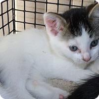 Adopt A Pet :: KURT - Acme, PA