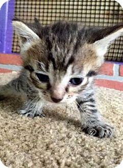 Domestic Shorthair Kitten for adoption in Porter, Texas - Neil