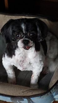 Shih Tzu Dog for adoption in Broken Bow, Nebraska - Ivy