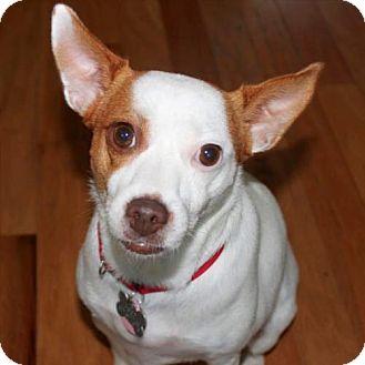 Rat Terrier Dog for adoption in North Myrtle Beach, South Carolina - Jewel (SC)