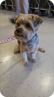 Yorkie, Yorkshire Terrier Mix Dog for adoption in Houston, Texas - Teddy