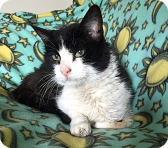 Domestic Shorthair Cat for adoption in Addison, Illinois - Bergerac