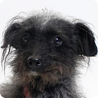 Terrier (Unknown Type, Medium) Mix Dog for adoption in Truckee, California - Boo