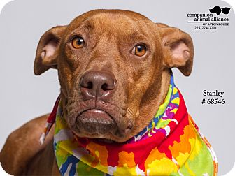 American Bulldog/Vizsla Mix Dog for adoption in Baton Rouge, Louisiana - Stanley  (Foster Care)