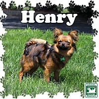 Pomeranian/Yorkie, Yorkshire Terrier Mix Dog for adoption in Fallston, Maryland - Henry
