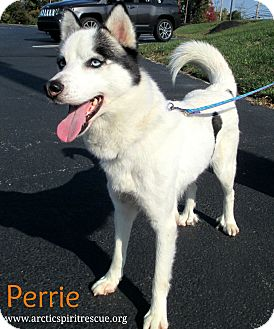 Siberian Husky Puppy for adoption in West Chester, Pennsylvania - Perrie