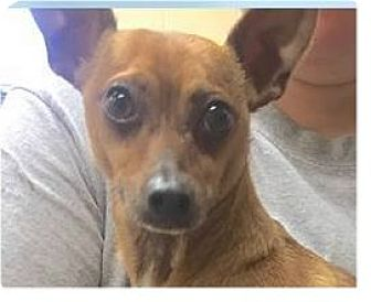 Chihuahua Mix Dog for adoption in Springdale, Arkansas - Pecan