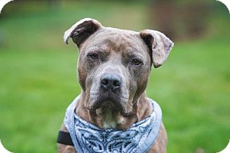 Pit Bull Terrier Mix Dog for adoption in Bainbridge Island, Washington - GOTTI -Sweet Senior begging for a loving home