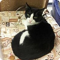 Adopt A Pet :: Felix - Fullerton, CA