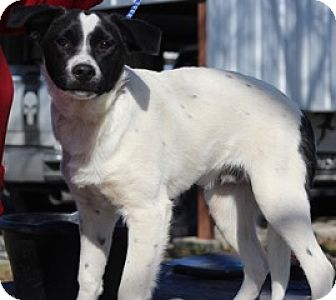 Springer Spaniel Mix Dog for adoption in Von Ormy, Texas - Malcolm