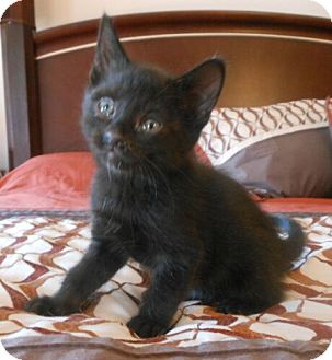 Domestic Shorthair Kitten for adoption in Reston, Virginia - Thunder