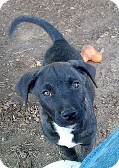 Labrador Retriever/Plott Hound Mix Puppy for adoption in Orange Lake, Florida - Tank