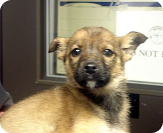 German Shepherd Dog Mix Puppy for adoption in baltimore, Maryland - Romulus