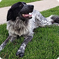 Adopt A Pet :: Sophia ADOPTED - Bloomington, IL