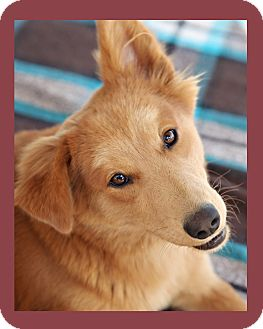Golden Retriever/Border Collie Mix Dog for adoption in Cave Creek, Arizona - JOSIE