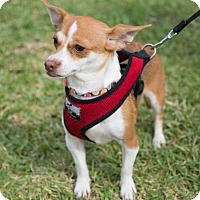 Adopt A Pet :: Danika - Weston, FL