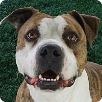 Adopt A Pet :: Conrad - Chula Vista, CA
