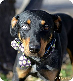 Doberman Pinscher/Australian Cattle Dog Mix Dog for adoption in Corrales, New Mexico - Harry