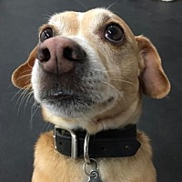 Dachshund/Corgi Mix Dog for adoption in Burbank, California - Adorable Jackson