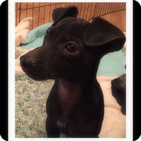 Dachshund/Chihuahua Mix Puppy for adoption in Winchester, California - GUS
