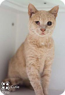 Domestic Shorthair Cat for adoption in Merrifield, Virginia - Cutie