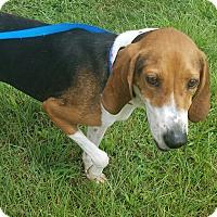 Treeing Walker Coonhound Dog for adoption in Staunton, Virginia - Whitney