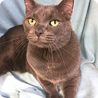 Adopt A Pet :: Blue - Colorado Springs, CO