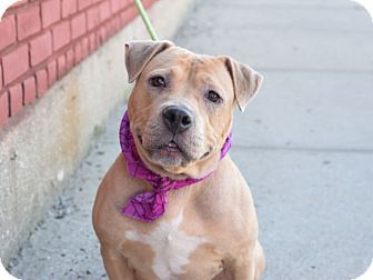 American Pit Bull Terrier Mix Dog for adoption in Prospect, Connecticut - ADOPTED! Cora