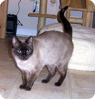 Siamese Cat for adoption in Liberty, North Carolina - DD