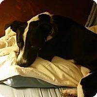 Adopt A Pet :: Callie - Romeoville, IL