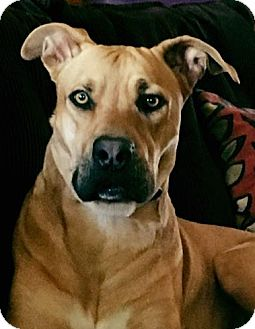 Great Dane/Shepherd (Unknown Type) Mix Dog for adoption in San Diego, California - Scooby