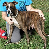 Boxer/Pit Bull Terrier Mix Dog for adoption in Suwanee, Georgia - Eliza
