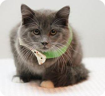 Domestic Longhair Kitten for adoption in Richardson, Texas - Alfie