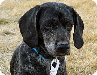 Dachshund/Cocker Spaniel Mix Dog for adoption in Cheyenne, Wyoming - Buddy