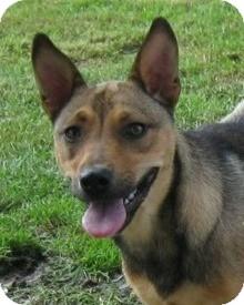 Cattle Dog Mix Dog for adoption in Acushnet, Massachusetts - Laney