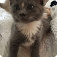 Adopt A Pet :: Bootsie - Reston, VA