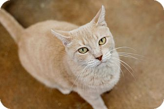 Domestic Shorthair Cat for adoption in Carencro, Louisiana - Alisa