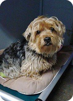 Norfolk, VA - Yorkie, Yorkshire Terrier/Norwich Terrier ...