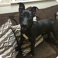 Adopt A Pet :: Addie in CT - East Hartford, CT