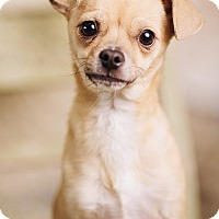 Adopt A Pet :: French Fry - Portland, OR